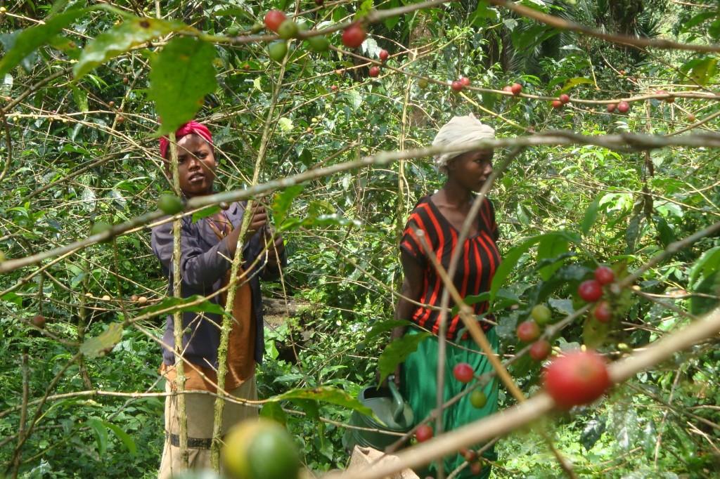 Kávová sklizeň